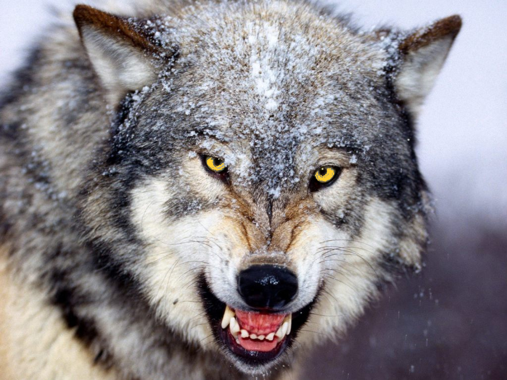 Male black wolf with yellow eyes - photo#15